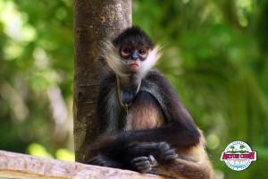 Wildlife in Aktun-Chen: meet the spider monkeys!