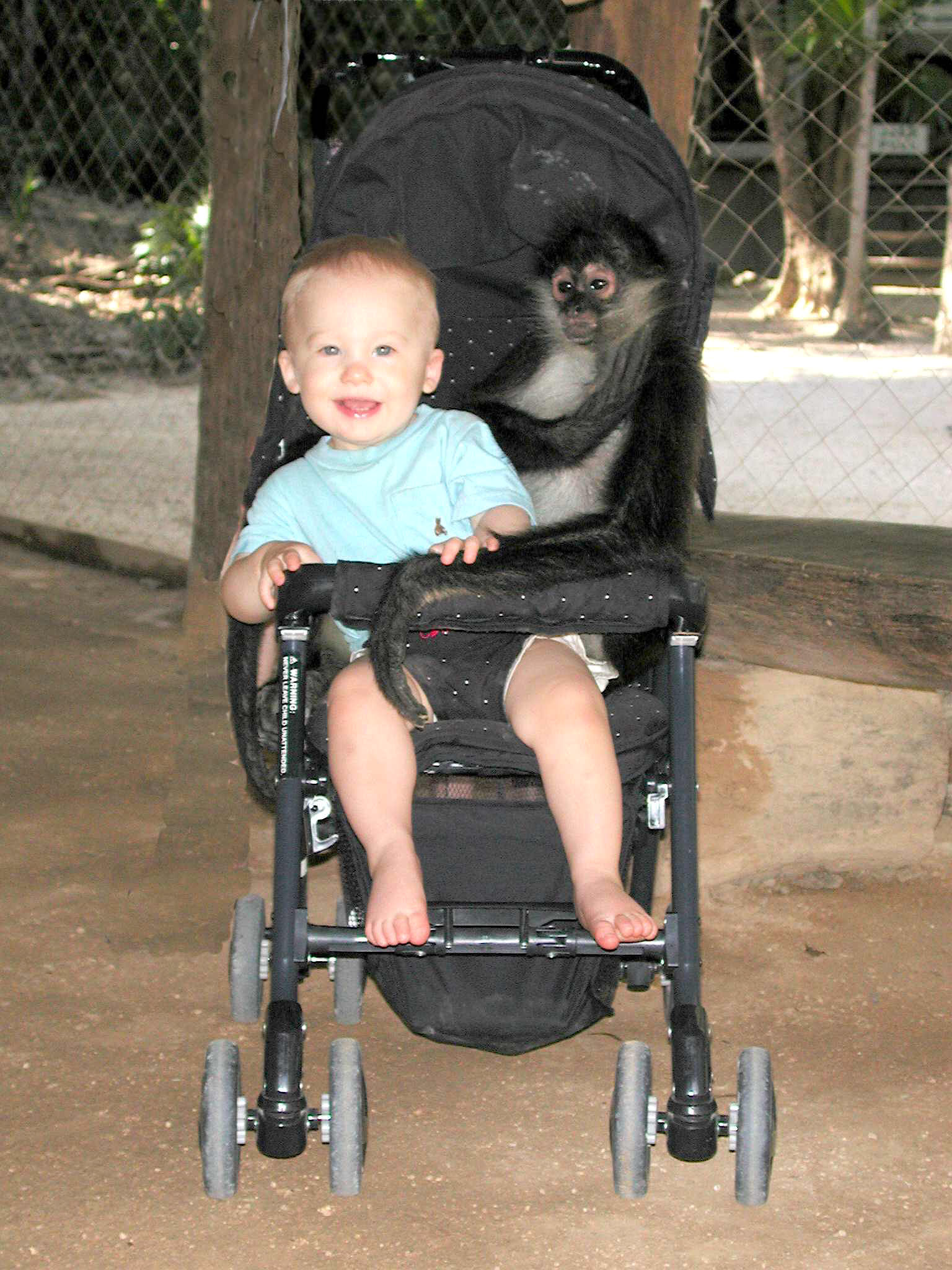 do spider monkeys have thumbs, do white cheeked spider monkeys have thumbs
